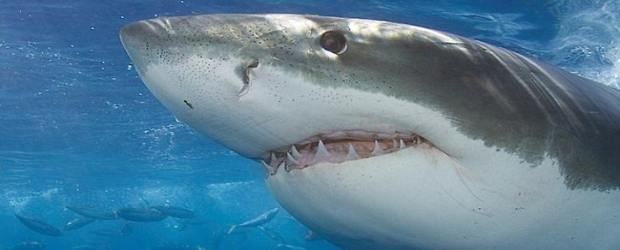 """Here is a snippet from Herald Sun: """"GREAT white sharks in the ocean off South Australia have an affinity with music fans around the world..."""